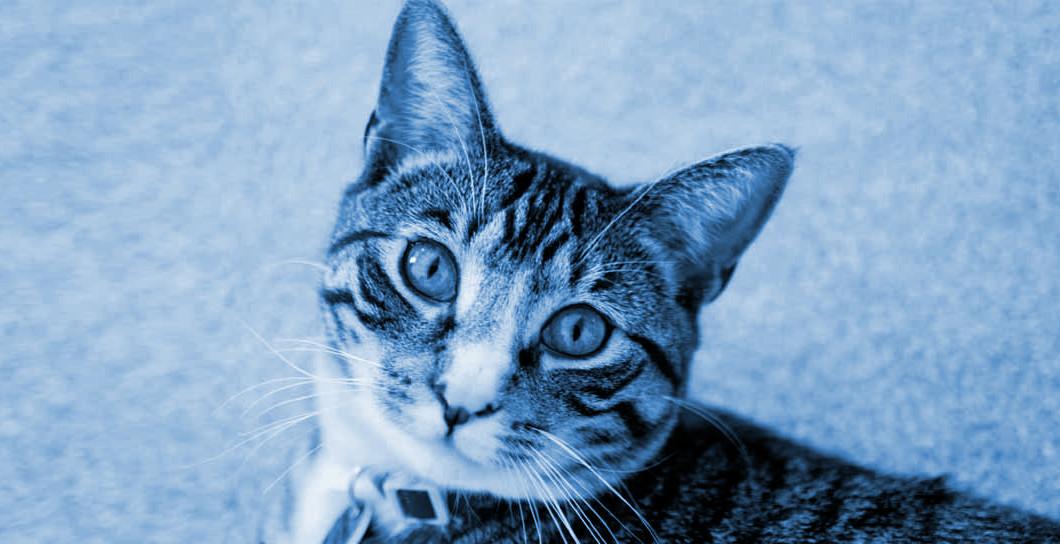 wear a cat collar